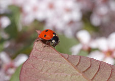 Ladybug sitting on leaf Stock Image