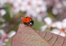 Ladybug sitting on leaf Stock Image