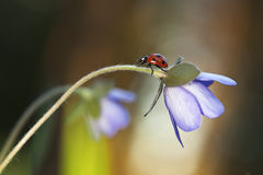 Ladybug sitting on liverleaf Royalty Free Stock Photos