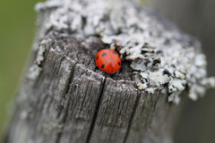 The ladybug. Sitting on an old felling Stock Images