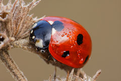 The ladybug sitting on an old flower Royalty Free Stock Photography