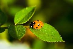 Ladybug Sitting On Green Leaf Stock Image