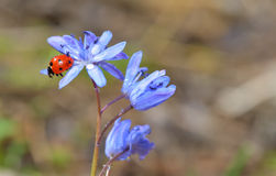 Ladybug sitting on a spring flower Royalty Free Stock Image