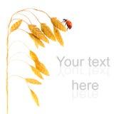 Ladybug sitting on a wheat herb Stock Images