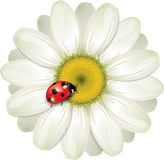 Ladybug sitting on White Daisy, design vector illustration