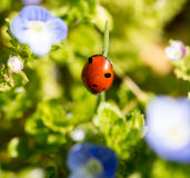 Ladybug on small blue flowers in nature Stock Image