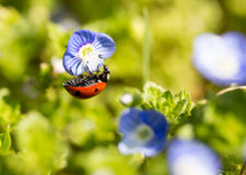 Ladybug on small blue flowers in nature Royalty Free Stock Images