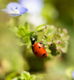 Ladybug on small blue flowers in nature Stock Photo