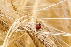 Ladybug. The small ladybug creeping on a mature ear of wheat Royalty Free Stock Photos