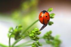 A ladybug Stock Image