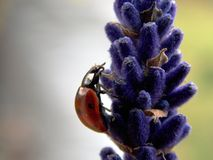 Ladybug. Small red, the flower Royalty Free Stock Photography