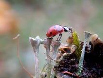 Ladybug. Small red, the mushrooms Royalty Free Stock Photo