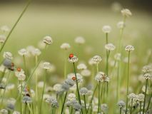 Ladybug on small white flowers blossom Blooming in the meadow. W Royalty Free Stock Image