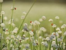 Ladybug on small white flowers blossom Blooming in the meadow. W Stock Photo
