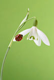 Ladybug on snowdrop. With green background Royalty Free Stock Photography