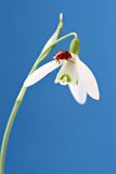 Ladybug on snowdrop. (close-up Stock Photos