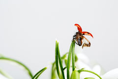 Ladybug on Snowdrop Flowers Royalty Free Stock Images