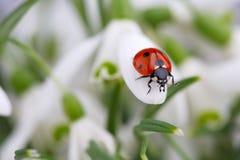 Ladybug on Snowdrop Flowers Stock Image