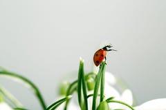 Ladybug on Snowdrop Flowers Royalty Free Stock Photography