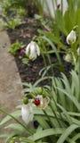 Ladybug on snowdrop Stock Photo
