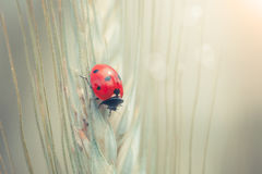 Ladybug on a spike Royalty Free Stock Photography