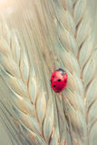 Ladybug on a spike Stock Photos