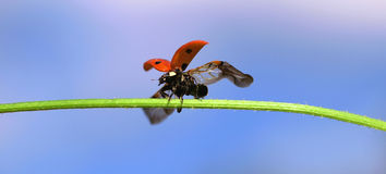 Ladybug spreading wings Stock Images
