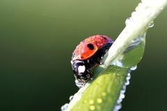 Ladybug in spring with dew drops. Beautiful ladybird with morning dew drops of water in summer season Stock Image
