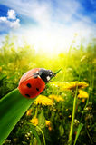 Ladybug on spring field Royalty Free Stock Images