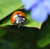 Ladybug in spring garden Royalty Free Stock Image