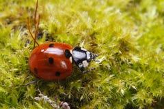 Ladybug spring moss closeup Stock Images