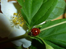 Ladybug In Spring Royalty Free Stock Images
