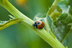 Ladybug on the stem Stock Photos