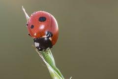 Ladybug on a stem of grass Royalty Free Stock Photos