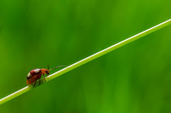 Ladybug on stem Stock Image