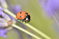 Ladybug on stem of lavenda flower Stock Photos