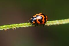 Ladybug on stem of plant Royalty Free Stock Photography