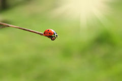 Ladybug on stick. Whith bright sunny rays royalty free stock photography