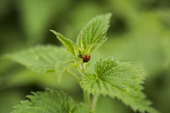 Ladybug on a stinging nettle Royalty Free Stock Photo