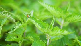 Ladybug on a stinging nettle stock video