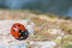 Ladybug on stone texture royalty free stock image
