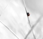 Ladybug on a straw Royalty Free Stock Photo