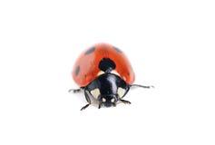 Ladybug su bianco Fotografia Stock