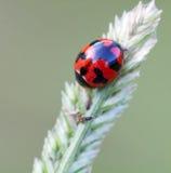 Ladybug su erba Fotografia Stock