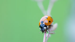Ladybug su frumento Fotografie Stock Libere da Diritti