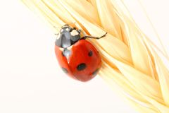 Ladybug su frumento Fotografia Stock