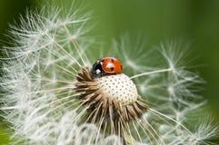 Ladybug su un dente di leone Immagine Stock Libera da Diritti