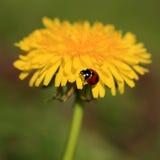 Ladybug su un fiore giallo Fotografia Stock Libera da Diritti