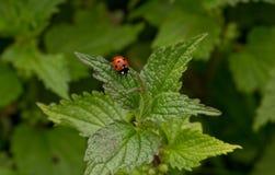 Ladybug su un foglio Immagine Stock