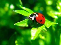 Ladybug su un foglio Fotografia Stock
